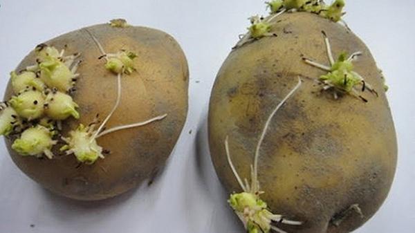 Khoai tây mọc mầm chứa nhiều độc tố